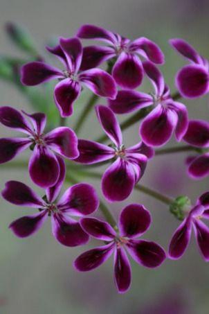 Pelargonium 'Lawrenceanum'