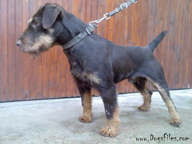https://i.pinimg.com/736x/45/56/0a/45560a4d9ee2ed8c904ba9f5091e919d--jagd-terrier-german-dog-breeds.jpg