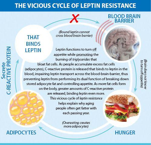 Irvingia News - Adipocytes, Letpin, Adiponectin, Glycerol-3-phosphate