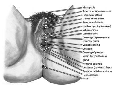 External vulvar and vaginal structures for evaluat
