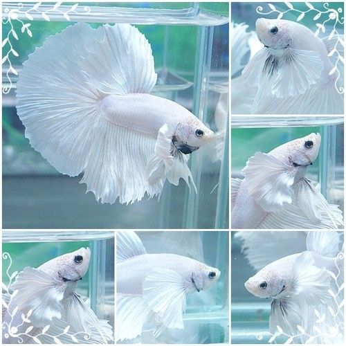 Elephant ear siamese fighter one of the most beautiful for Prettiest betta fish