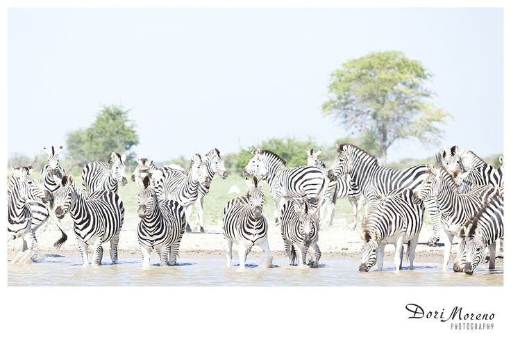 Zebra at a water hole, Nxai Pans, Botswana