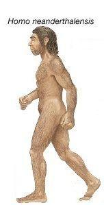 El hombre de Neandertal es una especie extinta del género Homo que habitó Europa y partes de Asia occidental desde hace 230 000 hasta 28 000 años atrás.  Tenía el esqueleto robusto, pelvis ancha, extremidades cortas y robustas, tórax en barril, arcos supraorbitarios resaltados, frente baja e inclinada, faz prominente, mandíbulas sin mentón y gran capacidad craneal 1550 cm³.