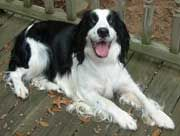 English Springer Spaniel Rescue in Alabama