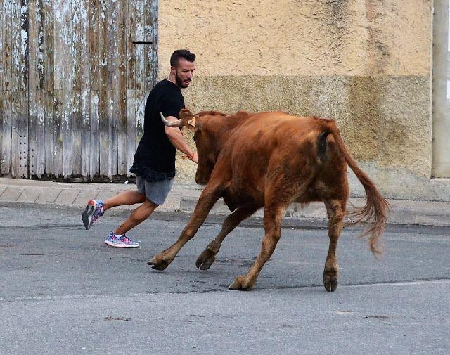 Santacara: Vacas Hermanos Ustarroz de Arguedas - (8)
