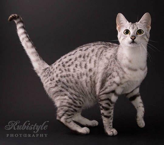 Egyptian Mau Kittens for Sale - BuyerPricer.com