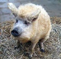 Wool pig. Also known as a Mangalitza.