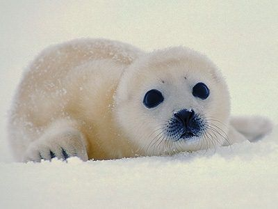 baby harp seal...Just look into those inoccent eyes