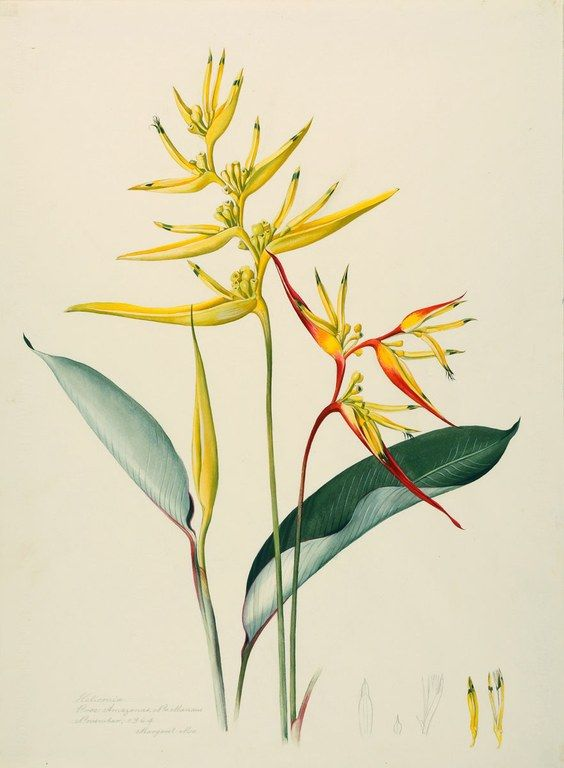 Margaret Mee, 1964 --  Heliconia sp.  Proc: Amazonas, Nr. Manaus  November, 1964