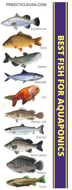 111 best aquaponics images on pinterest aquaponics for Best fish for hydroponics