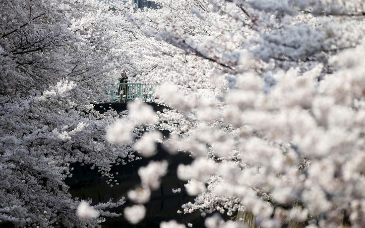 A man takes a picture of cherry blossoms in full bloom in Tokyo on March 30, 2015.