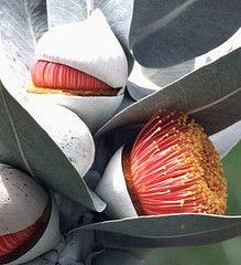 Eucalyptus macrocarpa blooms