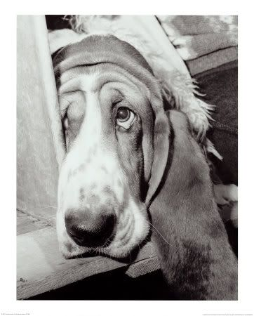 basset hound Awww look at his face