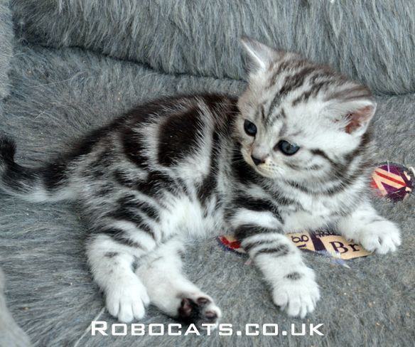 Silver Tabby British Shorthair Kitten See More On Our Website Robocats Co Uk British Shorthair Cats Silver Tabby Cat Tabby Kitten