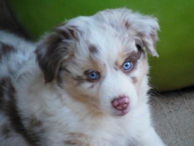 Aussie Puppies For Sale in GA | Ruby River Mini Australian Shepherds Ruby River Mini Australian Shepherds