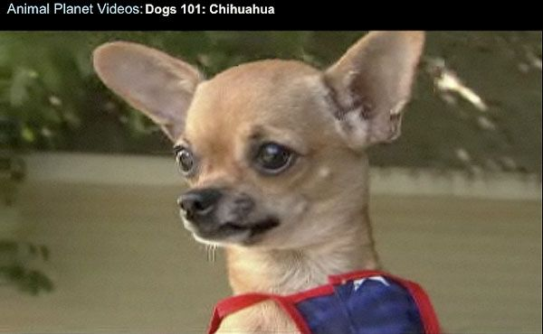 apple head chihuahuas vs. deer head chihuahuas: how they differ