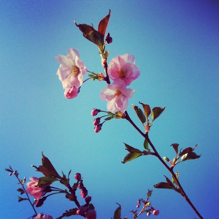 Prydnadskörsbär Prunus 'Accolade'