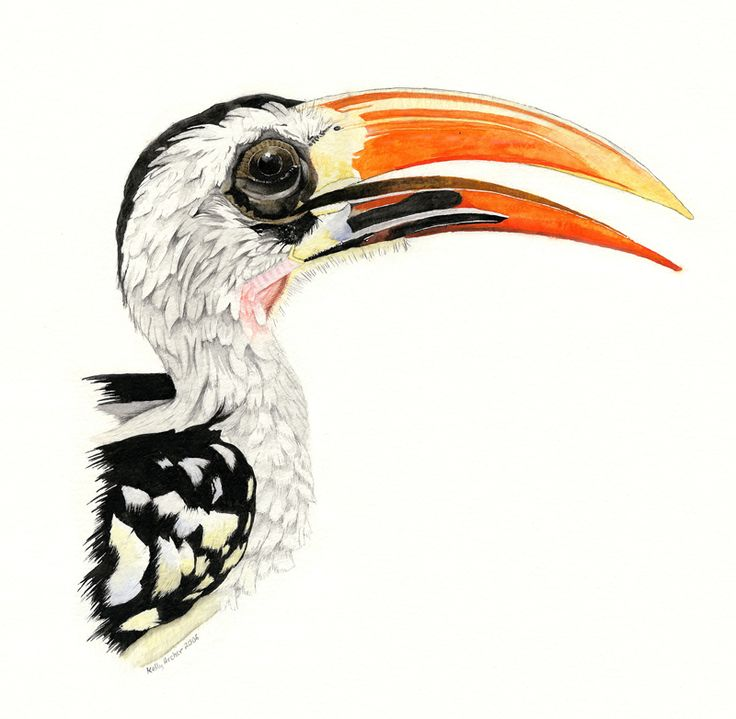 Portfolio - Kelly Archer Wildlife & Pet Portraits  #hornbill #wildlife #birds #bird #redbilledhornbill #tockuserythrorhynchus #painting #watercolor #watercolour #stilllife #portraits #petportraits