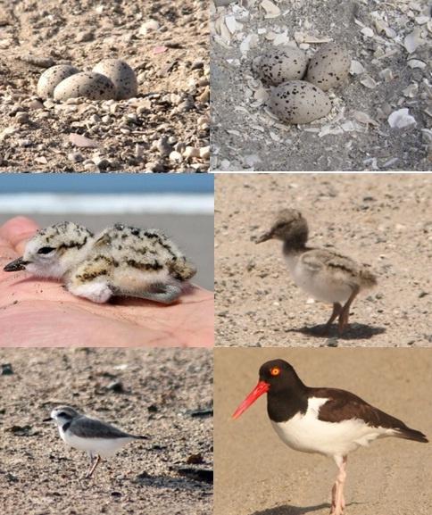 Huevos y Crías de aves playeras