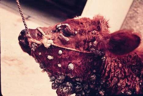 A papilomatose, verruga ou verrucose, figueira, epitelioma contagioso é uma doença infecto-contagiosa viral, frequente e que acomete os rebanhos bovinos