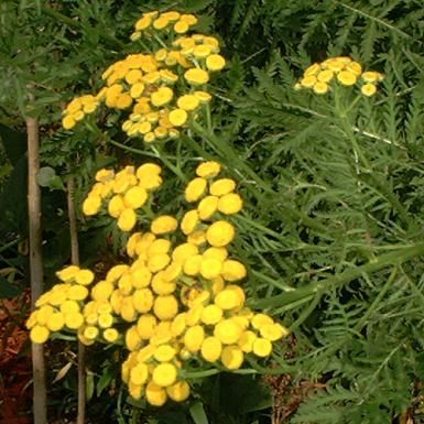"Finally found out what this was! ""Tansy is a perennial herb with pretty blooms. But it is poisonous as well as invasive. - David Beaulieu"""