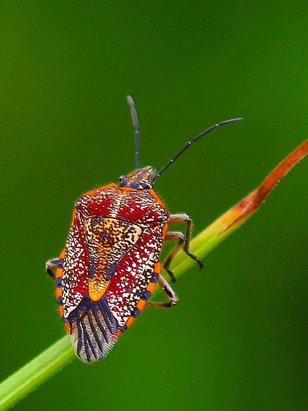 Sunflower Seed Bug