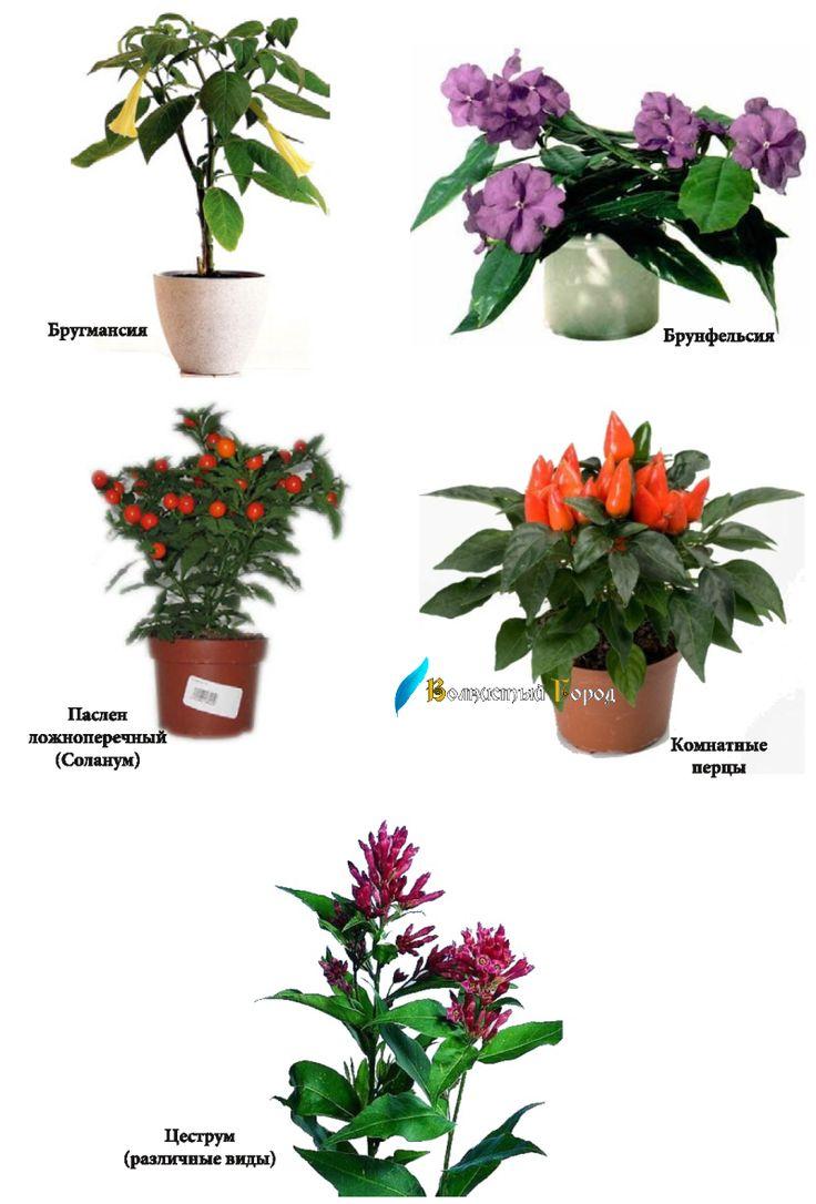 Ядовитые растения. Пасленовые
