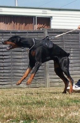Doberman Pinschers were developed to serve as personal protection.