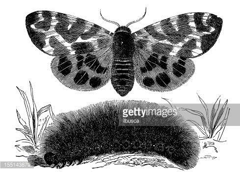 Illustration : Garden Tiger Moth (Arctia Caja)