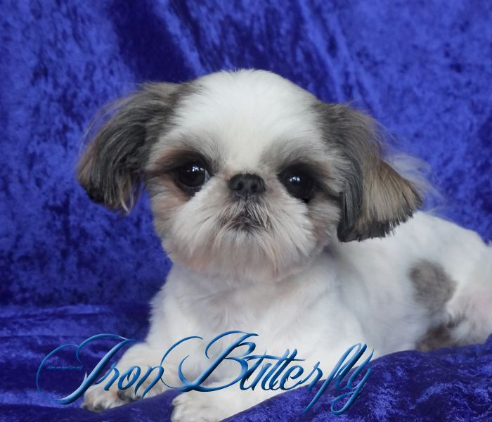 Iron Butterfly Chinese Imperial Shih Tzu Tiny Teacup Puppies For Sale Quality Small Breeder Teacuppuppies Teacup Puppies Teacup Puppies For Sale Shih Tzu