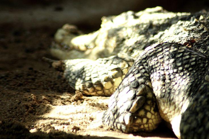 Animaux  * Crocodile http://www.commeuninstant.com/galerie/faune-et-flore/animaux/jardin-animalier