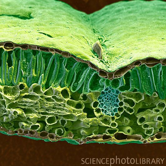 Christmas rose leaf. Coloured scanning electron micrograph (SEM) of a section through the leaf of the Christmas rose (Helleborus niger). The upper surface of the leaf is at top. Below this are numerous vertical cells containing chloroplasts (small spheres). Chloroplasts are organelles which are the site of photosynthesis within the leaf. Photosynthesis is the process by which plants use sunlight to turn carbon dioxide into sugars. At lower right (blue) is a vascular bundle, part of the…