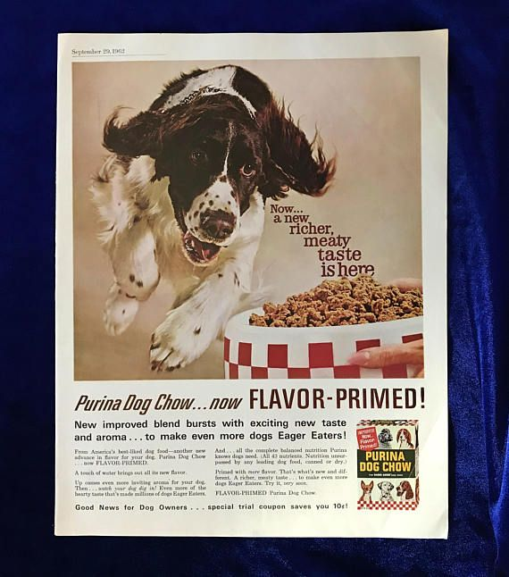 1962 Springer spaniel dog Purina Dog Chow advertisement. Has an article about children on the reverse side. In excellent condition. Well preserved. Very subtle creases on right would not show when framed. This is a large, full page magazine ad. Measures 13 1/2 inches tall by 10 1/2