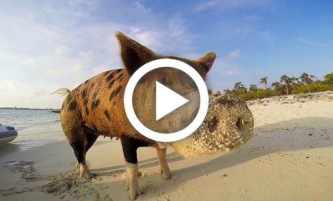 OMG VIDEO NEWS: Το νησί των γουρουνιών. Ένας απίστευτος τροπικός παράδεισος!..βιντεο