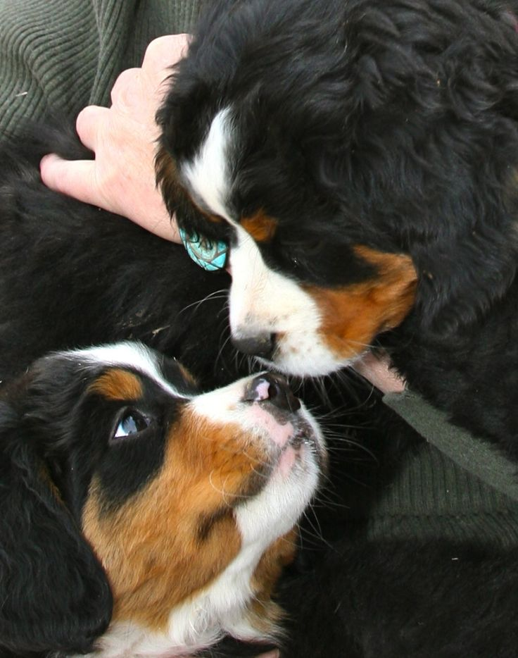 I love Bernese Mountain Dogs!!