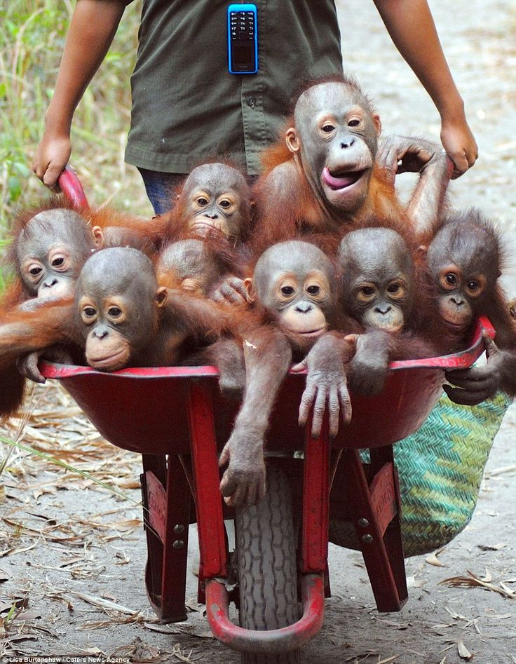 Naughty, naughty: While the orang-utans are usually happy to ride along in the wheelbarrow...
