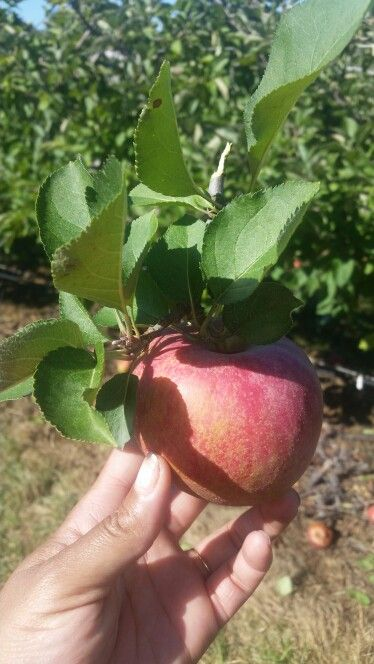 Apple picking at Larriland Farm, Sat, 10/10/15. All they had were Stayman apples for your own picking. Don't like them, but this was a cute one I picked.
