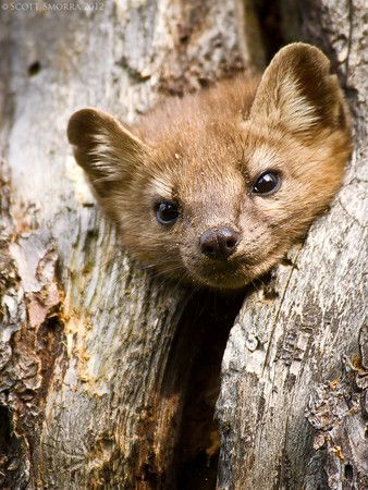 "An ""American Marten"" commonly referred to as a pine marten in the backcountry of Yellowstone National Park."