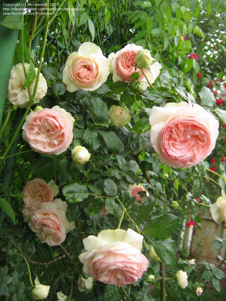 929 best roses images on pinterest. Black Bedroom Furniture Sets. Home Design Ideas