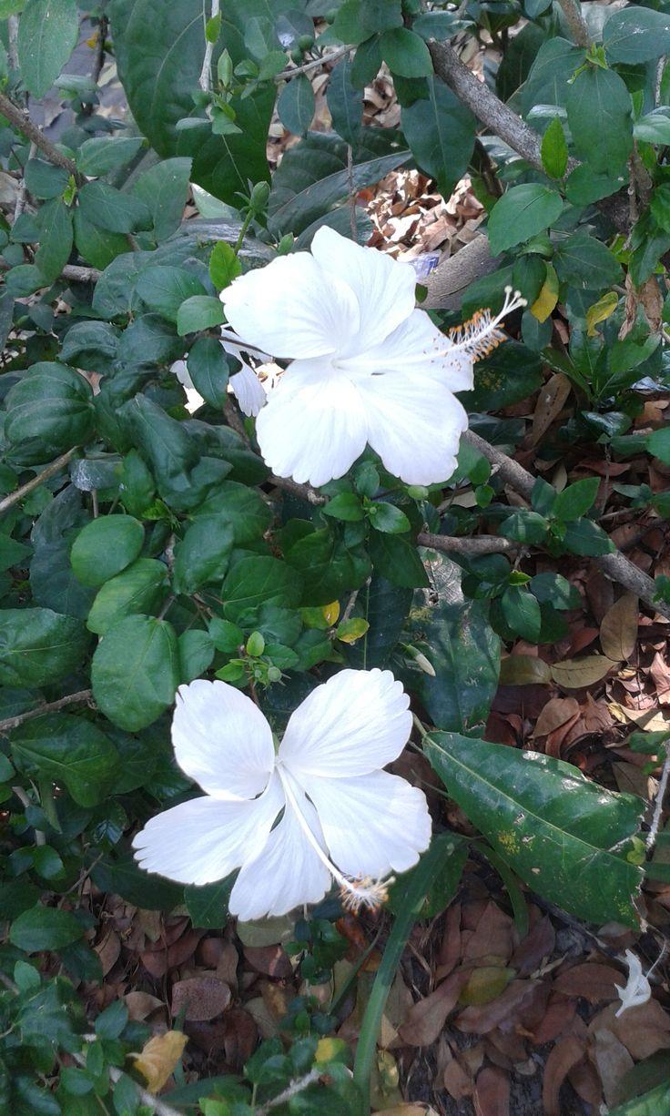 Ini hanyalah Bunga Kembang Sepatu