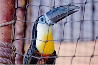 El tucán está en peligro de extinción en México. En todo el mundo, quedan sólamente 1,323,122 tucanes.