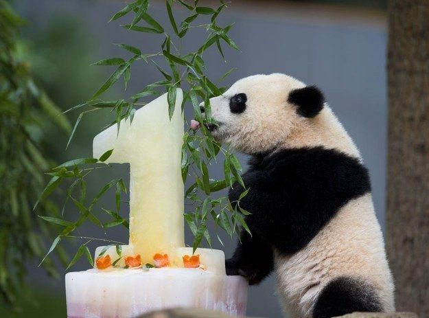 Bao Bao enjoyed eating her cake… | 15 Ridiculously Adorable Pictures Of Bao Bao The Panda Celebrating Her First Birthday