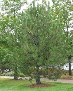 Austrian Pine (Pinus nigra) (18026 bytes)
