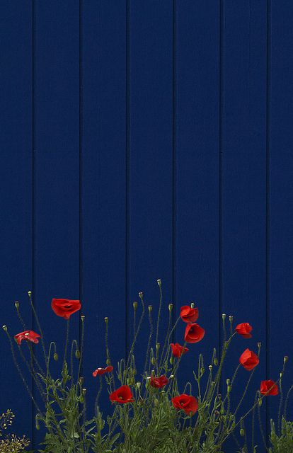 Red poppies on dark blue fence [ TheGardenFountainStore.com ]