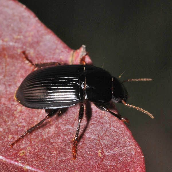 Harpalus froelichii Brush-thighed Seed-eater