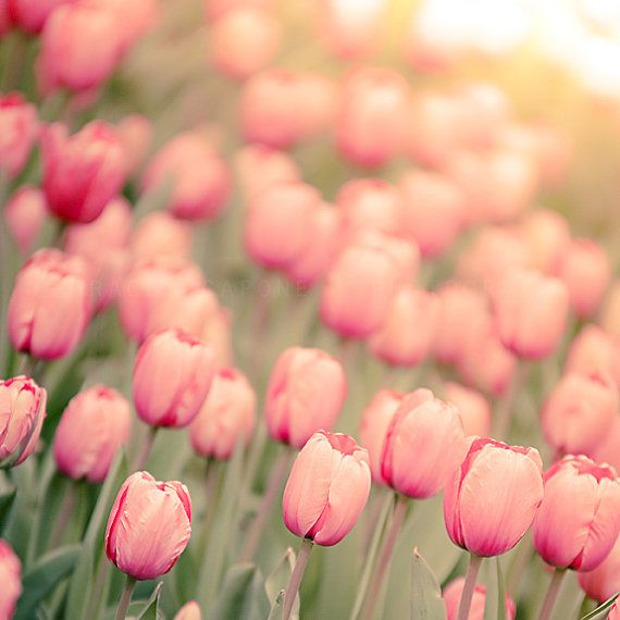 Pink Tulips Flower Photograph Nature Wall Art by TraceyCapone