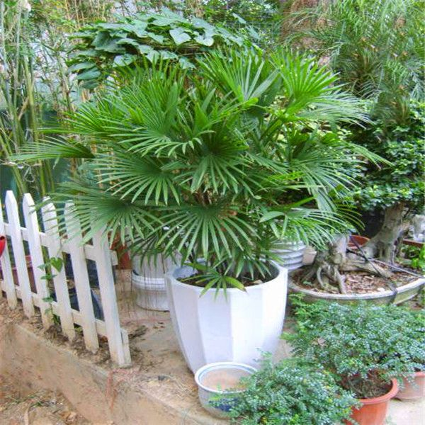 A Pack 5 Pcs Palm bamboo Seeds Balcony Patio Garden Potted Bonsai Plant Seeds Farm Palm bamboo Seed