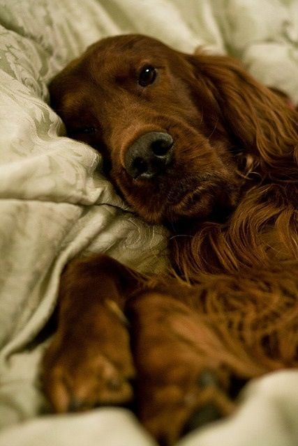 Irish Setter. I once had a setter named Clancy.  She was the best friend I ever had.  I still miss her to this day.