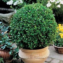 Boxwood Green Beauty Buxus Microphylla Japonica Quot Green