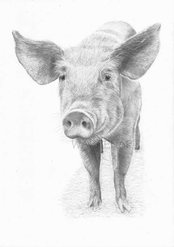 Pig art print hand signed pencil drawing a5 print uk artist
